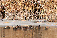 As the sun breaks through on a cold morning it finds a group of Pied Billed Grebe resting on the side of the Bear River out of the wind in northern Utah.
