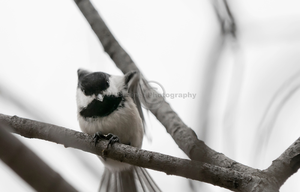The Black-capped Chickadee (Poecile atricapillus) is a small, common songbird in North America.
