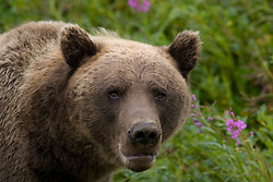 Alaskan Costal Brown Bear standing in Fireweed