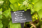 White Borage, Borago officinalis, in organic vegetable garden at Raymond Blanc's Hotel in Oxfordshire UK