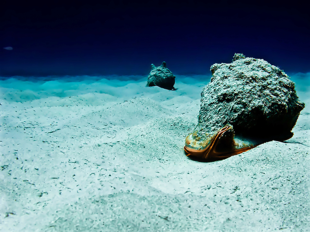 Two large conchs make their way across patch of sand off coast of Kona, HI.  Copyright 2008 Reid McNally.