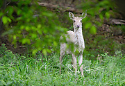 A piebald White-tailed deer stands in a forest in springtime.
