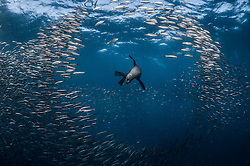 "June 19, 2015 - PORT SAINT JOHNS, SOUTH AFRICA:  SPECTACULAR images of marine and bird predators consuming a giant ball of hapless bait fish have been captured. Known as the ""Sardine Run"" these raiders of the animal kingdom including dolphins, whales, Cape Gannet birds and Fur seals can be seen converging on a migrating bait ball of sardines as it makes its way along Port St. Johns, South Africa. Underwater Photographer Greg Lecoeur and marine enthusiast (37) made the journey from his hometown on Nice, France to document the migration, which happens in late-June each year. (Credit Image: © Media Drum World/MediaDrumWorld/ZUMAPRESS.com)"