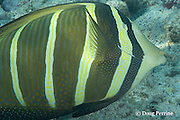sailfin tang, ringed tang, sail-fin surgeonfish, or maneoneo, Zebrasoma veliferum, feeding by scraping algae off rocky reef, Kahaluu Beach Park, Keauhou, Kona, Hawaii ( Central Pacific Ocean )