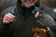 A member of the Cheshire Hawking Club during a meet at Brimstage, Wirral with a transmitter to be attached to a falcon.