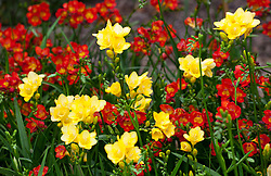 Yellow and red freesias in the cutting garden