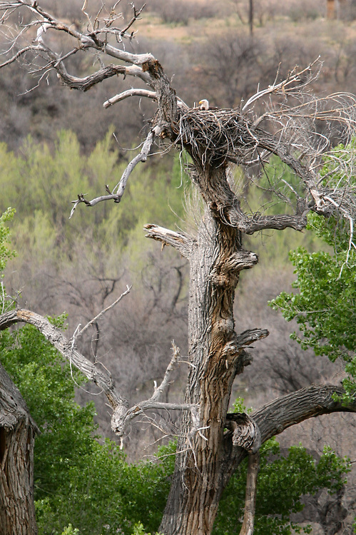 Photo by Gary Cosby Jr.  ..Bald eagles nest and hunt along the Verde River in the Sedona area of north central Arizona.