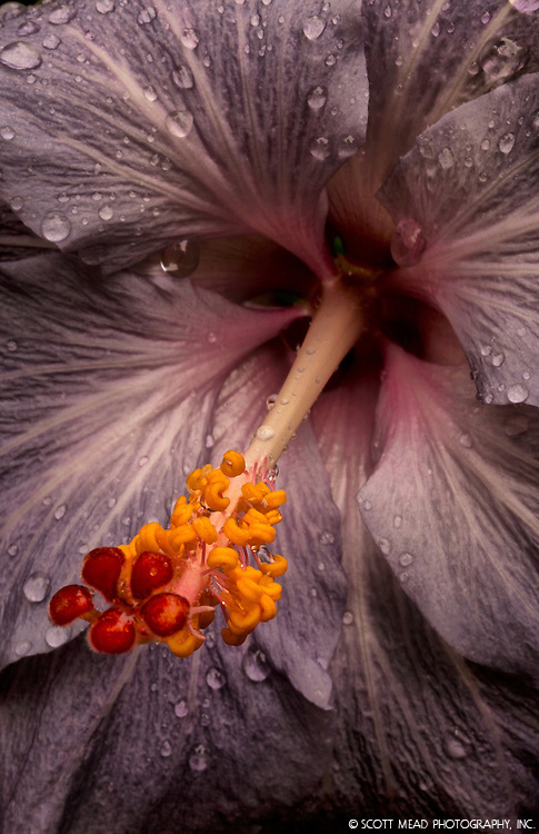 A lavender hibiscus plant blooms with rain drops at Hawaii Botanical Gardens in Papaikou, Big Island, Hawaii