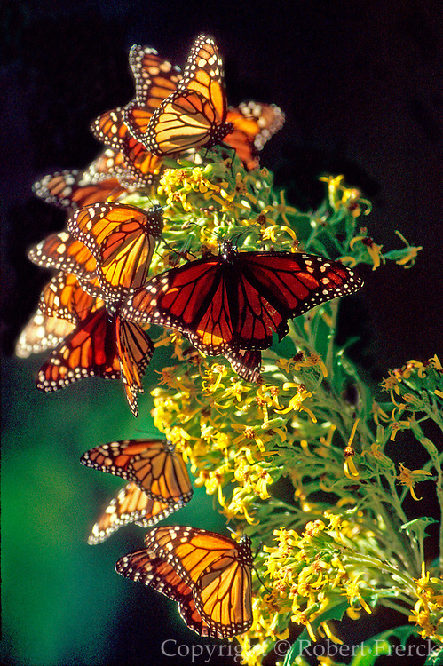 MEXICO, MICHOACAN, ANGANGUEO millions of Monarch Butterflies in Sanctuary