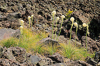 Beargrass (Xerophyllum tenax) growing along a trail through a lava flow at Mt St Helens, National Monument, WA, USA