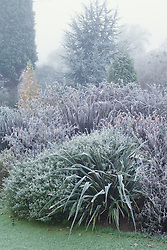 Phormiums and salvias in frost and fog