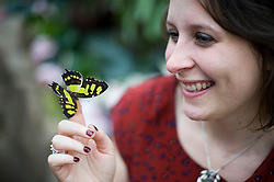© Licensed to London News Pictures. 25/01/2012. Woking, UK.  RHS Wisley worker Samantha Bevington poses with a Malachite butterfly at a press call for 'Butterflies in the Glasshouse' at RHS Garden Wisley near Woking, Surrey on January 25th, 2012. For four weeks the greenhouse at RHS Garden Wisley is transformed by over one thousand colourful butterflies which only live for a few weeks. Photo credit : Ben Cawthra/LNP
