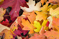 The forest floor in Logan Canyon covered with the bright Fall maple leaves.