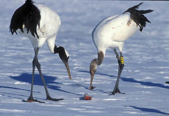 Japanese Crane or Red- crowned Crane, (Grus japonensis)  Eating fish. Hokkaido, Japan.