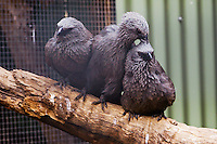 Apostlebirds / Grey Jumpers