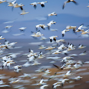 White geese take flight for the evening migration to the water in Bosque del Apache National Wildlife Refuge in New Mexico.
