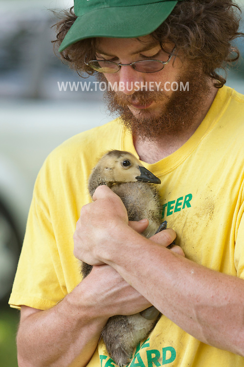 Middletown , New York - New York State Department of Environmental Conservation wildlife technician Greg Cerne holds a Canada goose gosling at by a lake in Middletown, New York. The DEC herded the geese into a pen and then banded the geese that did not already have bands. Geese are banded in late June and early July because they are molting and unable to fly.  Banding helps scientists learn about the birds' migration, feeding patterns and other behaviors.