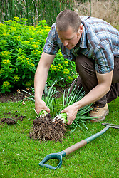 Dividing congested clumps of daffodil bulbs after they have finished flowering