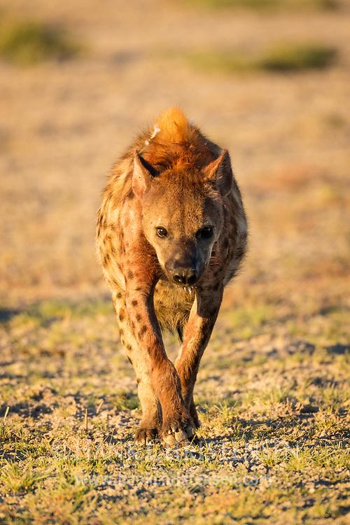 A spotted hyena walks across short grass plains in early morning light, Etosha National Park, Namibia.