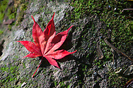 Red Maple Leaf, Symbol of Canada