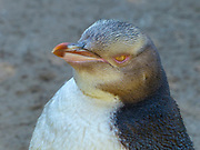 Yellow-eyed penguin (Megadyptes antipodes), Dunedin, Otago, South Island, New Zealand,