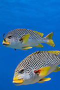 Diagonal banded Sweetlips fish (Plectorhinchus lineatus) on tropical coral reef - Agincourt reef, Great Barrier Reef, Queensland, Australia. Also commonly known as  Yellow-banded Sweetlips, Oblique-banded Sweetlips or Goldman's Sweetlips.