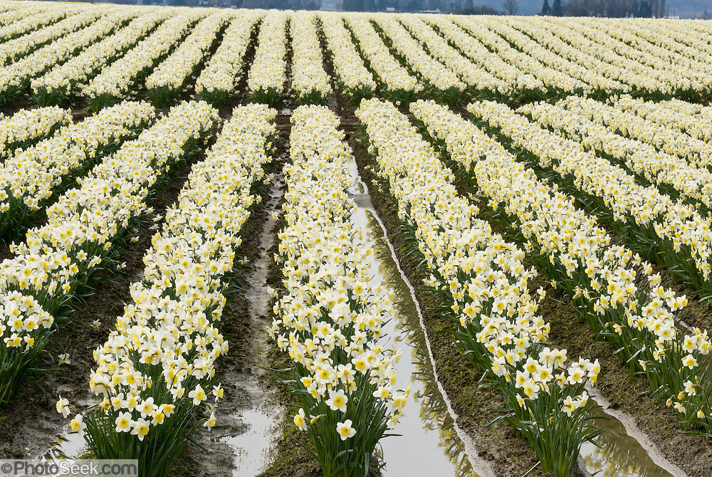 White daffodil (Narcissus) flowers bloom in the Skagit River Delta, Washington, USA between the towns of Mount Vernon and La Conner.