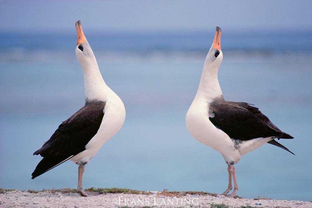 Laysan albatrosses courting, Phoebastria immutabilis, Hawaiian Leeward Islands