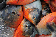 Piranha fish (Serrasalmus sp), Rio Negro river, Amazonas, Brazil.