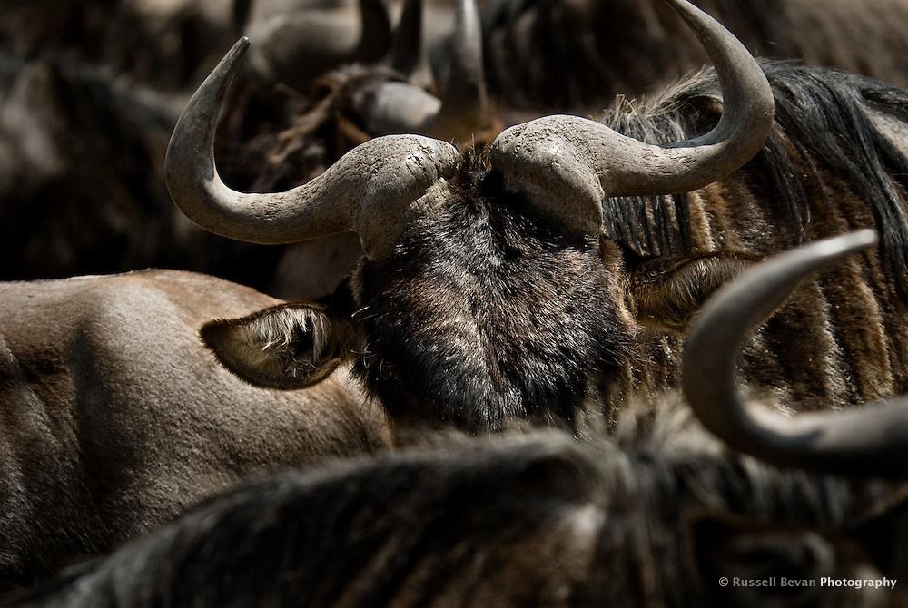 Blue Wildebeest in the Ngorongoro Crater, Tanzania