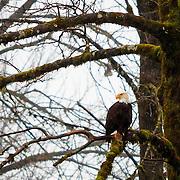 Majestic bald eagle perched on tree limb - Skagit Valley, WA