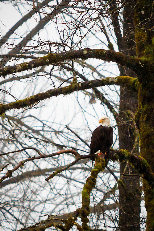 Majestic bald eagle perched on tree limb - Skagit Valley, WA
