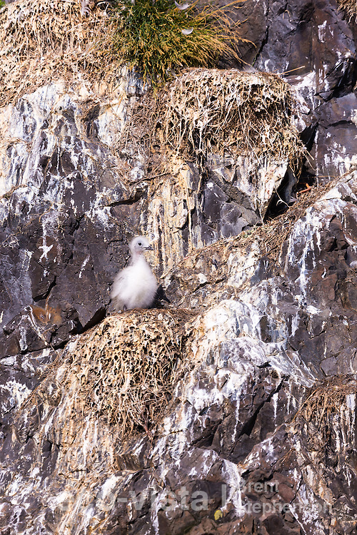 A single black-legged kittiwake (Rissa tridactyla) chick stands on the nest alone, the nests around it empty of chicks and adults. To be left at this early stage is not a good sign, and perhaps an indicator that food is limited this breeding season, with both adults being at sea looking for food. Flatey, West Fjords, Iceland. July.