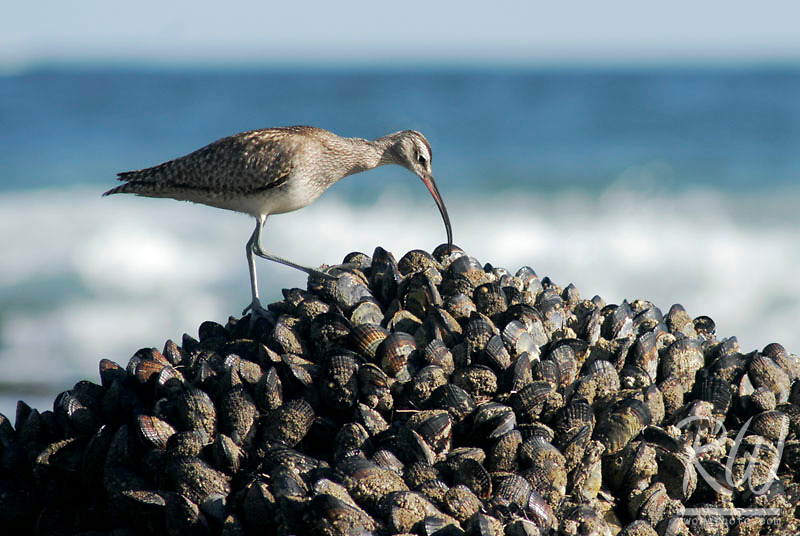 Whimbrel Foraging Through Mussels for Food, Crystal Cove State Park, Laguna Beach, California