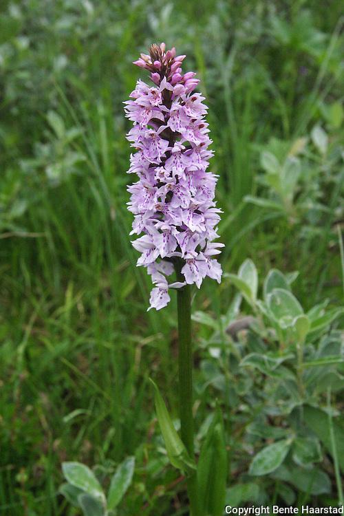 Det finnes over 30 ville orkideer i Norge.