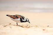 Ruddy turnstone, Arenaria interpres, on a beach on Santa Cruz Island, Galapagos Islands, Ecuador.