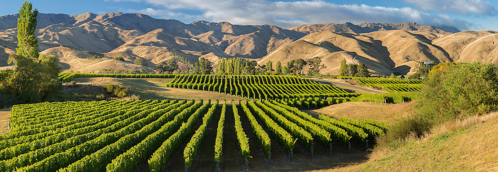 Rows of grape vines leading off into a background of dry hills during late Summer in Marlborough. Brancott Estate Vineyard.