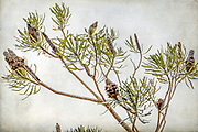 """There are a 173 species of Banksia in the plant family Proteaceae, and all but one occur naturally only in Australia.  Banksias were named after Sir Joseph Banks (1743-1820), and are recognised by their characteristic flower spikes and fruiting """"cones"""". Banksia produce large amounts of nectar that provide a food source for many native wildlife."""