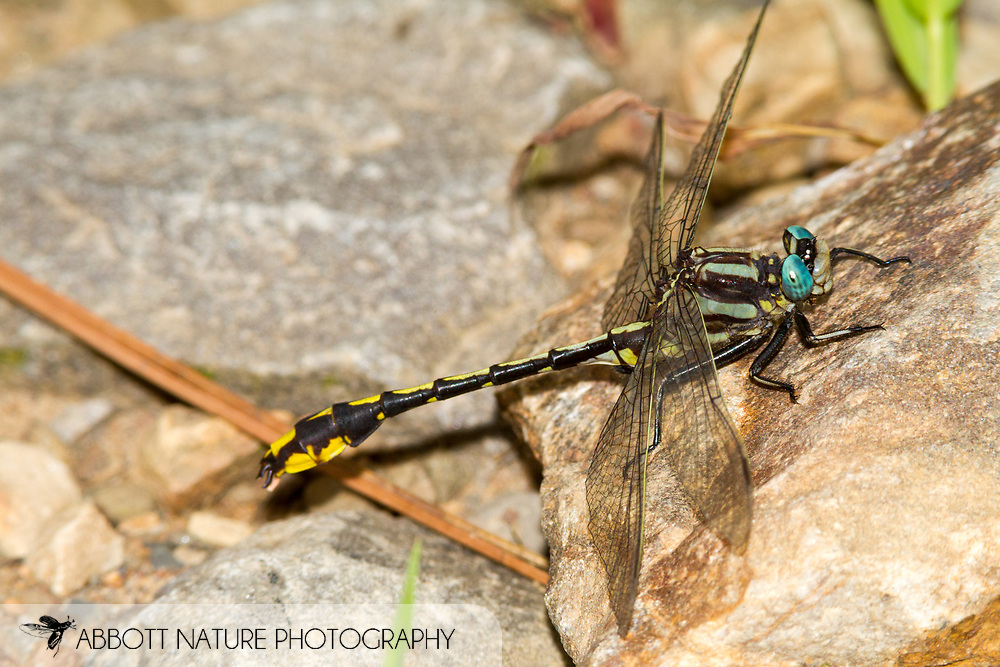 Pronghorn Clubtail (Phanogomphus graslinellus) - male<br /> ARKANSAS: Scott Co.<br /> Ouachita National Forest off FS 9808 near Y City<br /> 21-June-2015<br /> J.C. Abbott #2749 &amp; K.K. Abbott