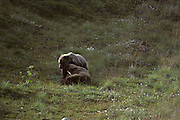 Yearling Grizzly Bear, Young Grizzly Bear, Grizzly Cub, Bear Cub, Cub, Grizzly Bear, Denali National Park