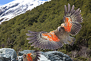 Kea parrot, in flight, New Zealand