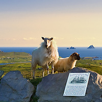 View on the Great Skelligs from Valentia Island with sheep in the foreground, Iveragh Peninsula, Ring of Kerry, southwest ireland / vl096 I love the Skelligs, ****** <br />