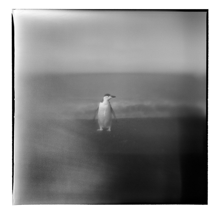Antarctica, Deception Island, Blurred black and white image of Chinstrap Penguin standing on black volcanic sand beach