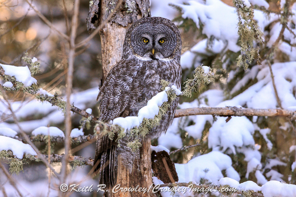 Great gray owl (Strix nebulosa) perched on snowy, moss-covered branch.