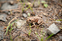 A fantastically camouflaged western toad comes out from under cover on a rainy summer day on Washington's Rattlesnake Mountain.