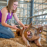 "Samantha Affleck of Serrano FFA shaves her Hampshire/Duroc ""Gordy"" on the opening day of the San Bernardino County Fair in Victorville, Saturday, May 24, 2014.  (Eric Reed/For The Sun)"