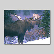 Alaska. Kenai Peninsula. Two Bull Moose. (Alces alces) in winter snow . Moose produce the largest antlers in North America spanning up to  6 feet across.