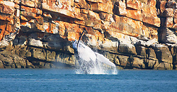 A female humpback whale breaches against stunning Kimberley cliffs at Wilson Point.