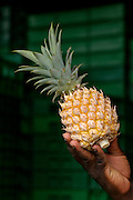Hand holding Queen Victoria variety pineapple.