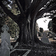"""and my father, he wouldn't say anything, he didn't lie me down, it was up against a tree and all I remember is the fear, the fear of somebody coming along and catching us"" Fiona Doyle recounts the time her father raped her at this Yew tree in Deansgrange Cemetary, Dublin."